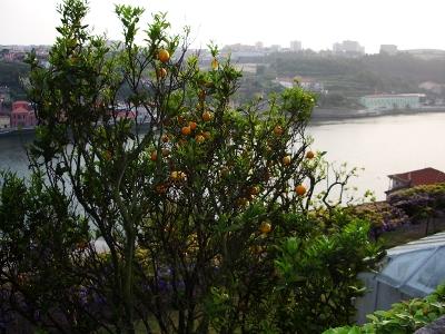 Apelsinipuu ja Douro jõgi