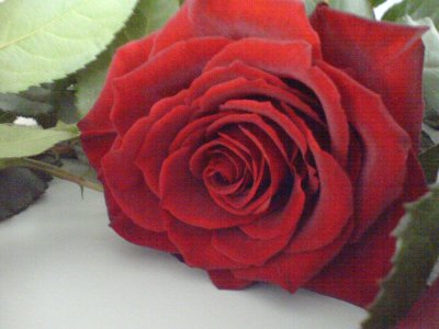 Üks tõeliselt uhke roos